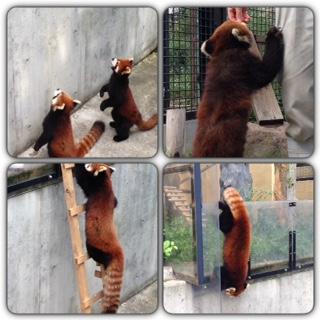 旭山動物園のアライグマ