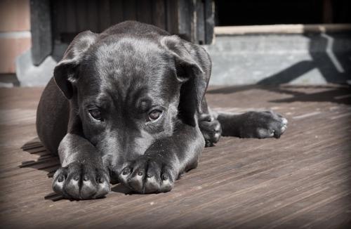 犬の聴覚を介したコミュニケーションの高鳴き声