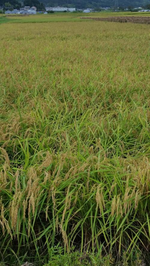 お米、田んぼのようす