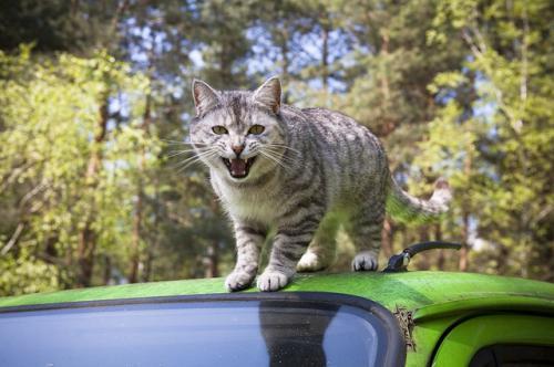猫の攻撃行動