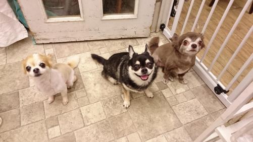 チワワの3姉妹