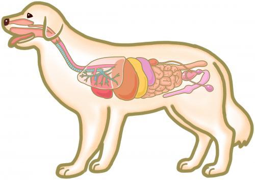 犬の消化器系
