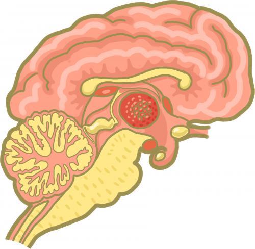 犬の脳について