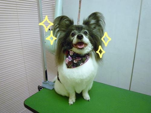 パピヨンちゃんのトリミング☆