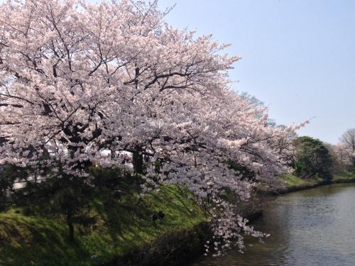 福岡城さくらまつりに行ってきました!
