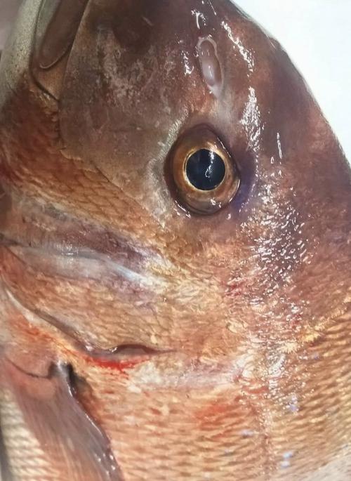 真鯛 美味しい 活魚