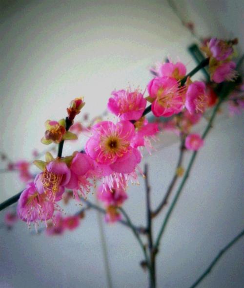 【カキラ・KaQiLa】桜咲く☆