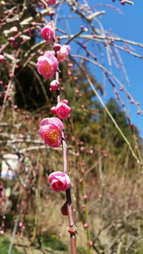 掛川市の龍尾神社のしだれ梅が満開に