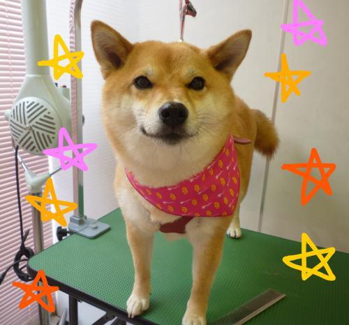 柴犬のグルーミング(^^♪