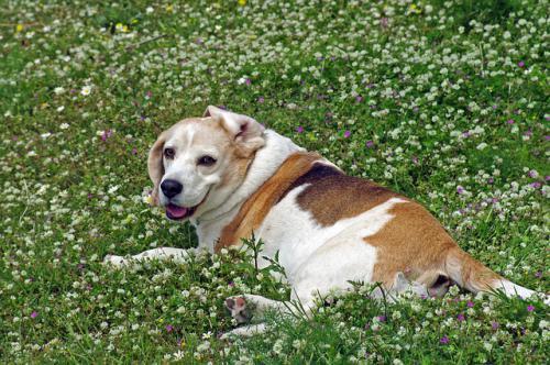 犬猫の脂肪の取りすぎは外耳炎になる。
