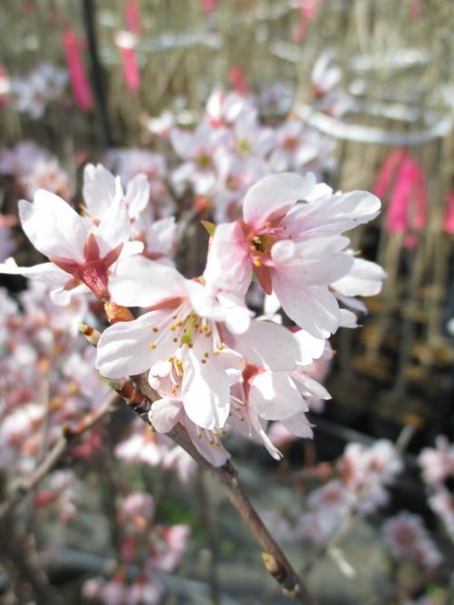 開花の啓翁桜(ケイオウ桜)!桜苗木、桜植木の販売!