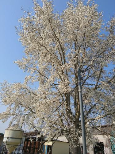 富トレの桜
