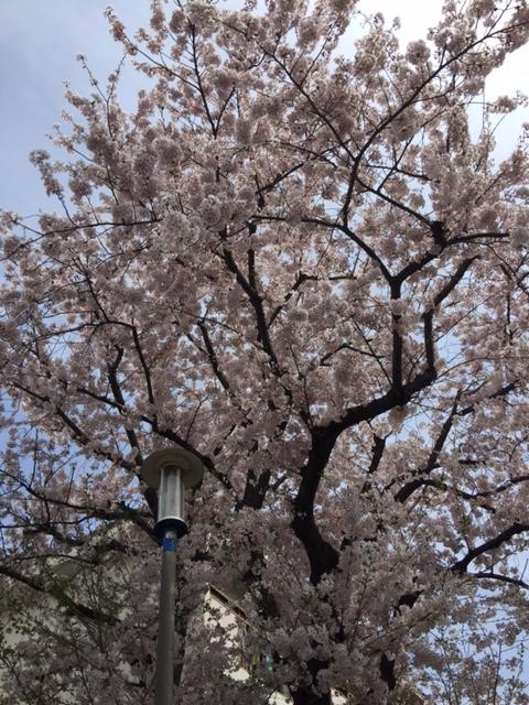 散歩時に見た桜(^_^)