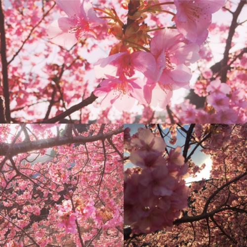 桜満開☆ミ