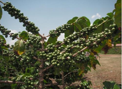 タンザニアコーヒー『フルーティーな香り』