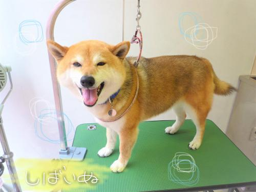 柴犬のシャンプー(*'ω'*)