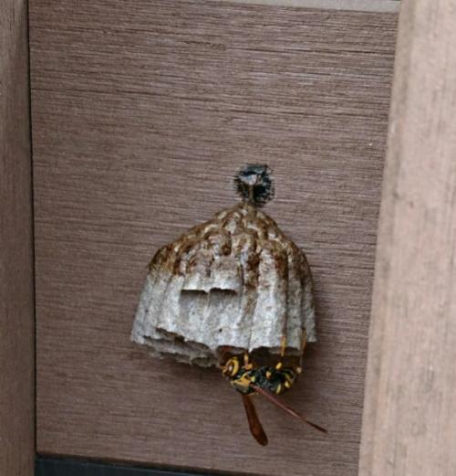 セグロアシナガバチかな?