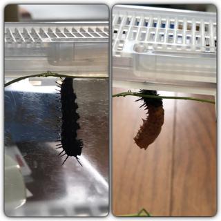 アカタテハの幼虫が蛹になる瞬間を見ました。