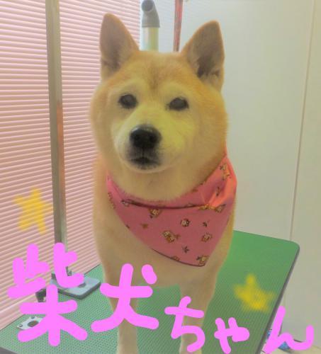 柴犬のグルーミング(*'ω'*)