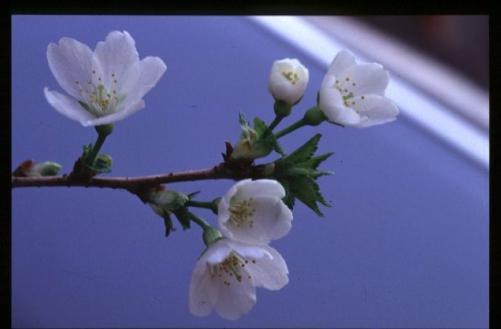 黄色い桜と緑の桜!緑桜!桜の苗木植木の販売!