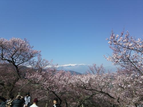 南アルプスと高遠桜(^^)