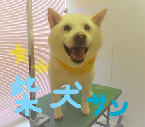 柴犬のグルーミング(*^^)v