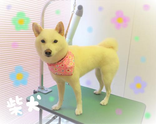 柴犬のグルーミング(*´ω`*)