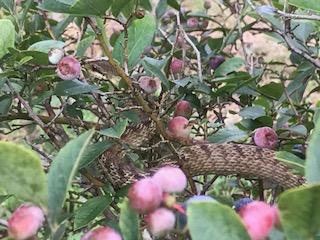 ブルーベリーを摘んでいたら枝にシマヘビが!