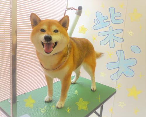 柴犬のグルーミング( *´艸`)