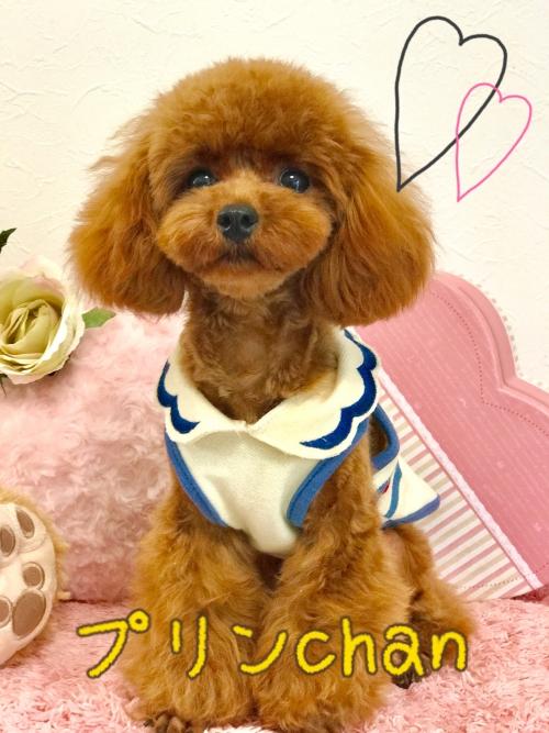 トイプードル子犬♫新メンバー
