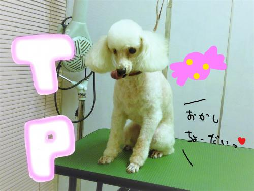 トイプードルのトリミング(*´ω`*)