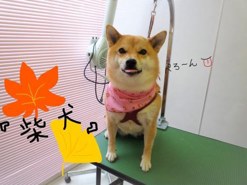 柴犬のシャンプー(''ω'')