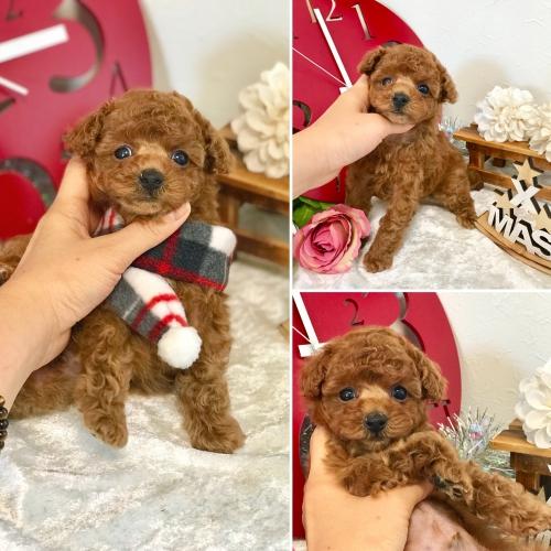 トイプードル子犬*群馬高崎店