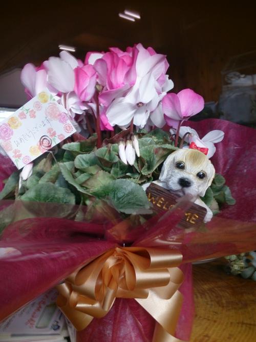 シクラメンのお花をいただきました