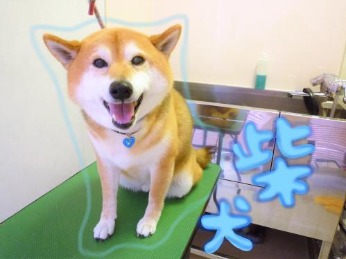 柴犬のグルーミング(*'▽')