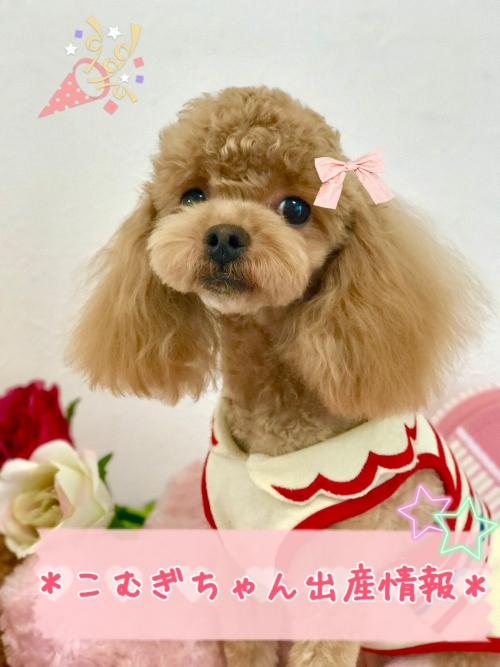トイプードル子犬情報♡