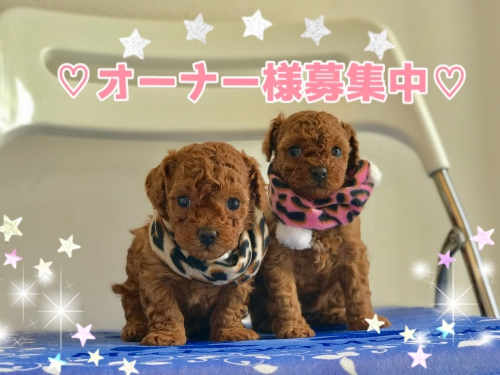トイプードル子犬♡
