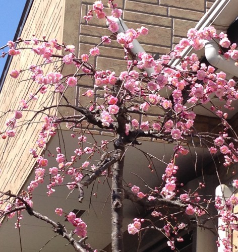 春 梅 満開