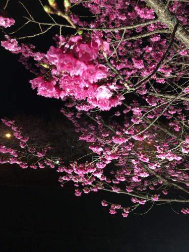 静岡に桜開花宣言されました。平年より7日早いです。