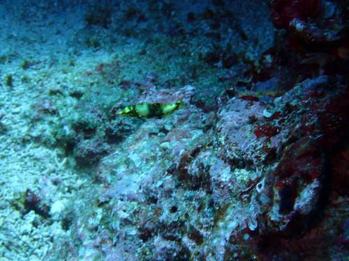 幼魚が見られるのは、ダイビングならでは?