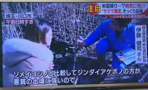 桜の苗木でテレビ出演!神代曙!