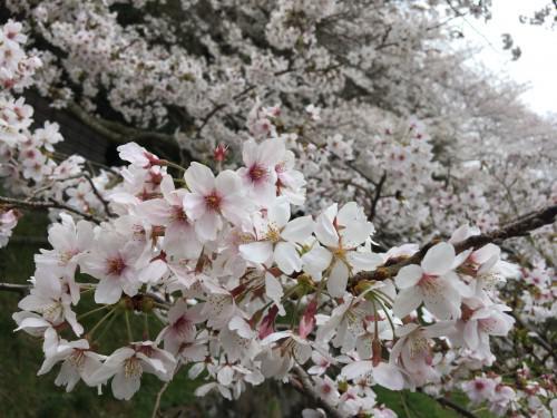 静岡は桜が満開宣言が出されました。掛川も牧之原市も満開です。