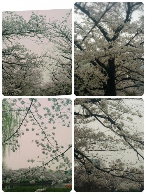 上野公園桜…