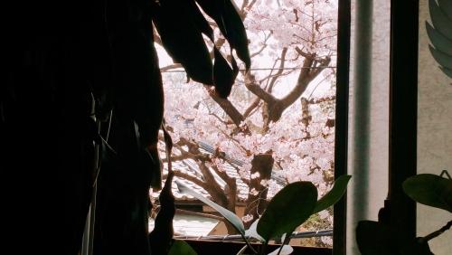 今日も桜とともに…