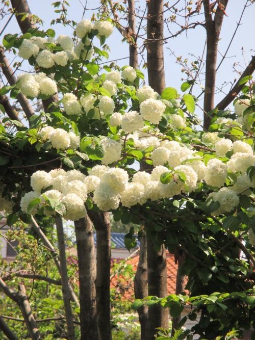 オオデマリが満開!花木の植木、苗木の通販、販売!