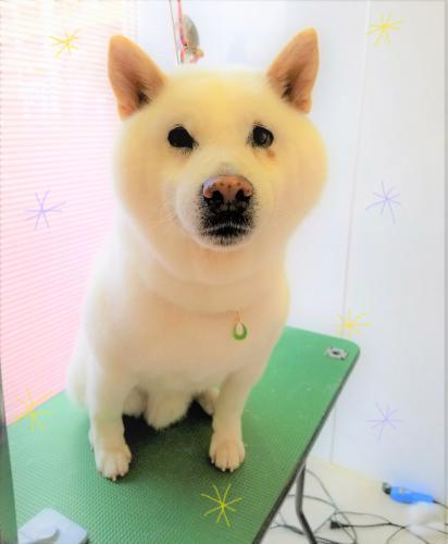 柴犬のシャンプー☆