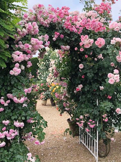 現在のバラの様子