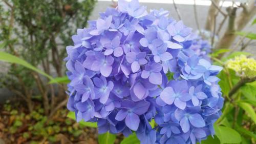 龍尾神社の紫陽花(あじさい)が見頃を迎えています。