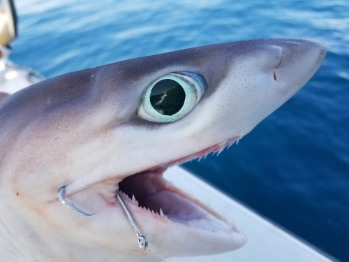 小型でも鋭い歯を持つサメ