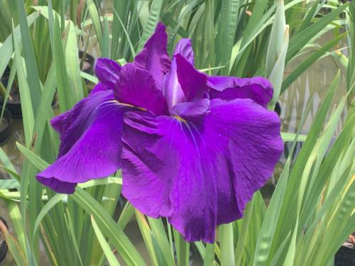 加茂荘花鳥園さんに花菖蒲と紫陽花を見に行ってきました。